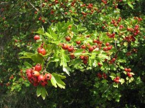 aubepine fruits