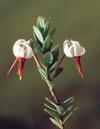 cranberry-fleur