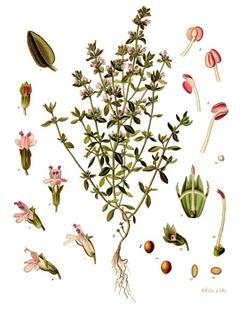 Thymus_vulgaris_-_Koehler-s_Medizinal-Pflanzen-271_medium