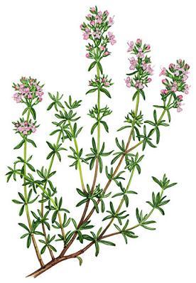 rp_thymus_vulgaris.jpg
