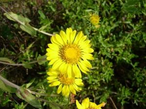 asteraceae-grindelia-robusta-9