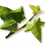 Calmer la toux par les plantes