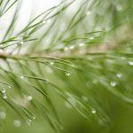 Pin sylvestre, pin des montagnes