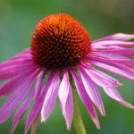 Les plantes immunostimulantes