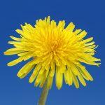 Cure de dépuratif et les plantes détoxifiantes.